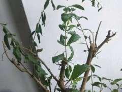 石榴下山桩树突然叶子枯萎 怎么办 图片
