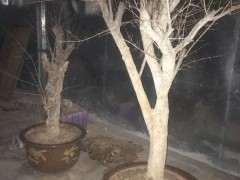 石榴下山桩在院里零下十度会不会冻死