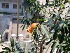 石榴下山桩冬天不落叶 影响开花吗 图片