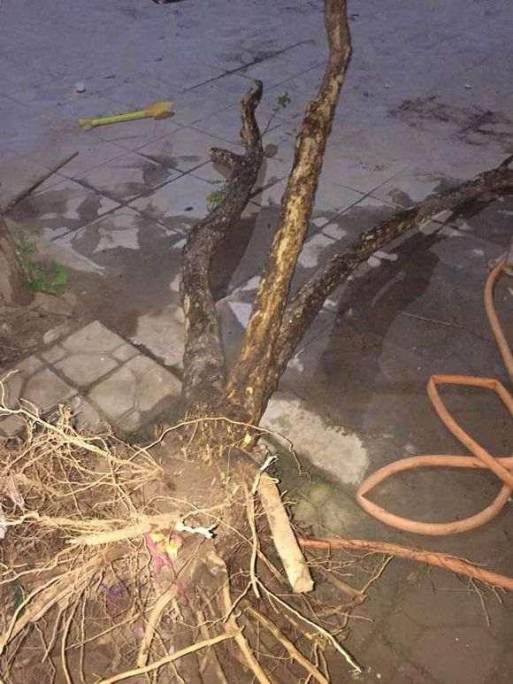 石榴下山桩是上盆好 还是地栽好 图片