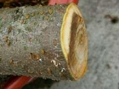石榴下山桩怎么硬枝扦插的方法 图片