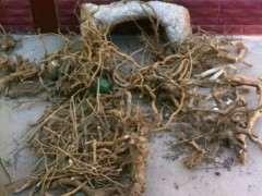 枸杞下山桩现在种一般多少天发芽 图片