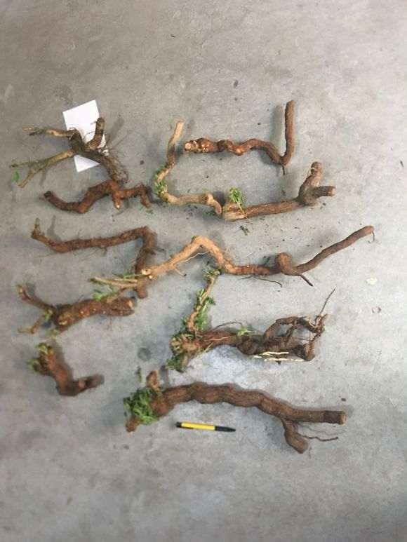 我还有几棵野生枸杞下山桩不发芽及芽缩了
