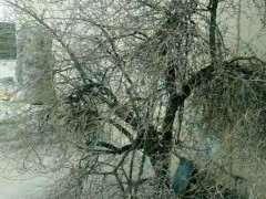 这棵枸杞下山桩树有多少年 图片