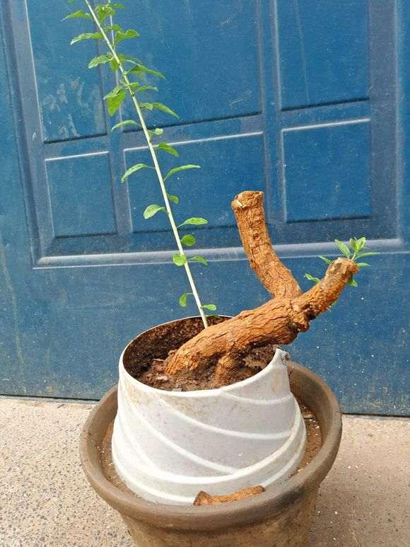 从地里挖出的枸杞下山桩根还能栽活吗 图片