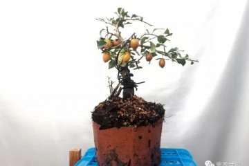 图解 老鸦柿下山桩怎么翻盆的方法