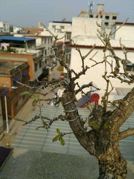 枸杞下山桩已休眠 叶子全落光了 图片