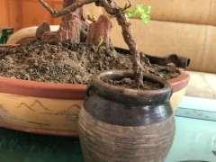 枸杞下山桩移栽好几次 每天喷好多次水