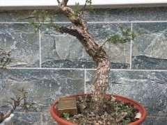为什么今年枸杞下山桩的顶枝死了 图片