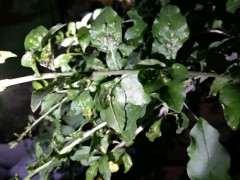 枸杞下山桩叶子怎么喷药 预防虫害 图片