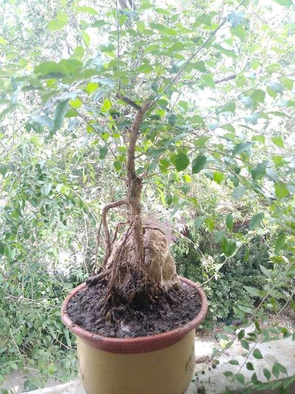 黑枸杞下山桩发芽后 叶子不长了 图片