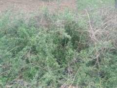 田间地头有很多这种枸杞下山桩 图片