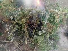 木炭灰可以当枸杞下山桩的肥料吗 图片