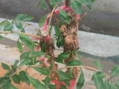 这棵枸杞下山桩怎么了 叶子皱巴 图片