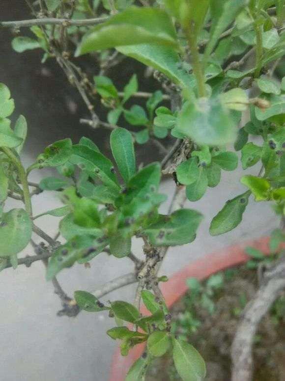 为什么枸杞下山桩叶子长小疙瘩 图片