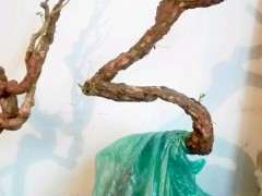 枸杞下山桩在春节前 室内发芽了 图片