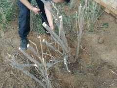 刚挖的贺兰山枸杞下山桩大老桩 图片