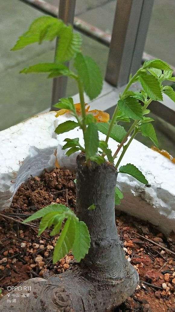 为什么榔榆下山桩发芽强壮 叶子就大
