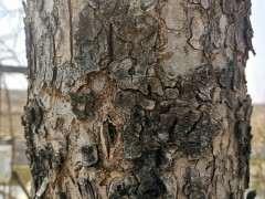 榔榆下山桩与家榆有什么区别 图片