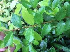 榔榆下山桩和家榔榆有什么区别 图片