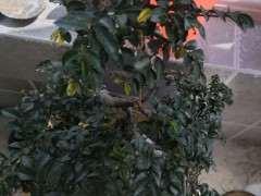榔榆下山桩好多黄叶 怎么办 图片