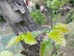 为什么榔榆下山桩发芽后 会叶子大 图片