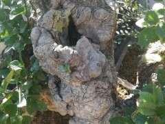 山东分布的几种榔榆下山桩对比 图片