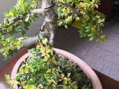 为什么小叶榔榆下山桩盆景的叶子变黄