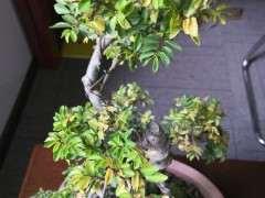 为什么榔榆下山桩长新叶子了 图片
