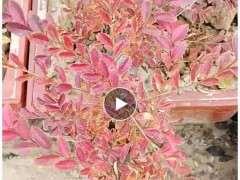 榔榆下山桩到了秋天都是红叶吗 图片