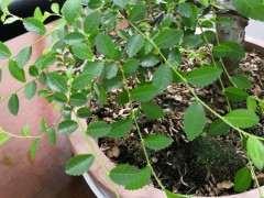 榔榆下山桩叶子干了 怎么办 图片