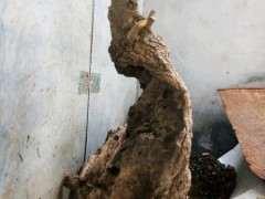 为什么榔榆下山桩的根呈红色 图片