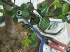 为什么榔榆下山桩叶子上有粘液 怎么办