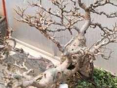 为什么榔榆下山桩要摘叶 图片