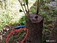 在湖北怎么扦插榔榆下山桩的方法 图片