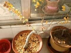 榔榆下山桩现在下山地栽可以吗 图片