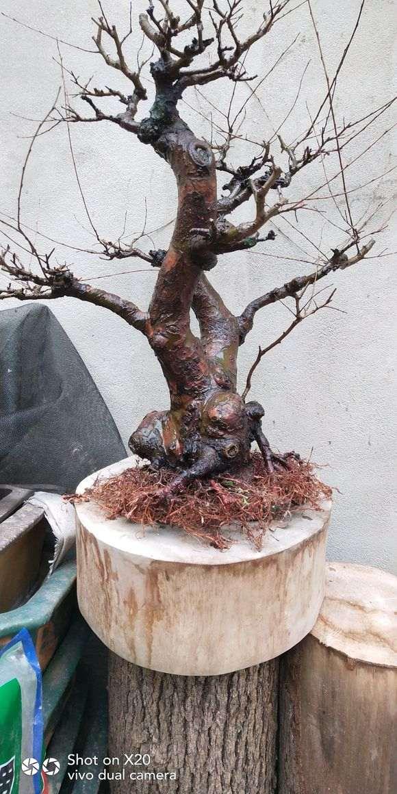 榔榆下山桩怎么洗根换盆的方法 图片