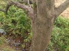 40多年的榆树下山桩 造型还可以吗 图片