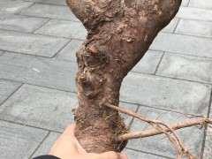 榔榆下山桩怎么放养蓄枝的方法 图片