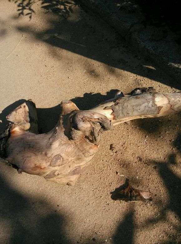 为什么榔榆下山桩10月份种最好 图片