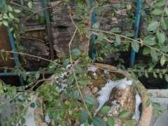 为什么冬天榆树下山桩不落叶是什么情况