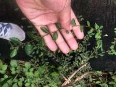 请教这种植物叫什么学名 是不是榔榆下山桩