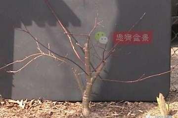 图解 红枫下山桩怎么制作成盆景