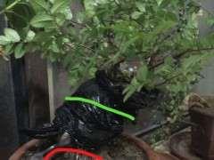 榔榆下山桩高压 什么时候分离移栽 图片