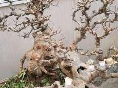 榔榆下山桩摘叶了 还能出新叶吗 图片
