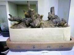 榔榆下山桩根部流胶了 能不能涂抹愈合剂