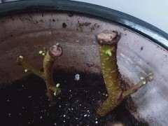 扦插的小叶榔榆下山桩发芽了 图片