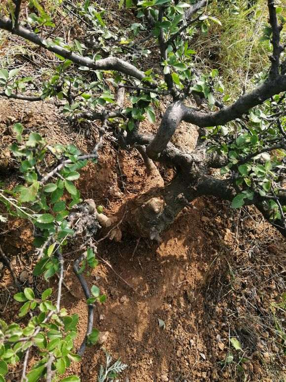这是山榆 还是榔榆下山桩 怎么区别 图片