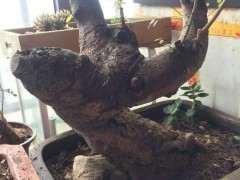 榔榆下山桩树状如何定型 图片