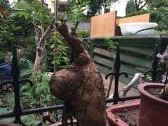 榔榆下山桩几年长成小疙瘩 图片